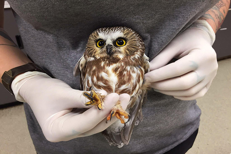 sfw saw whet owl 6 ab